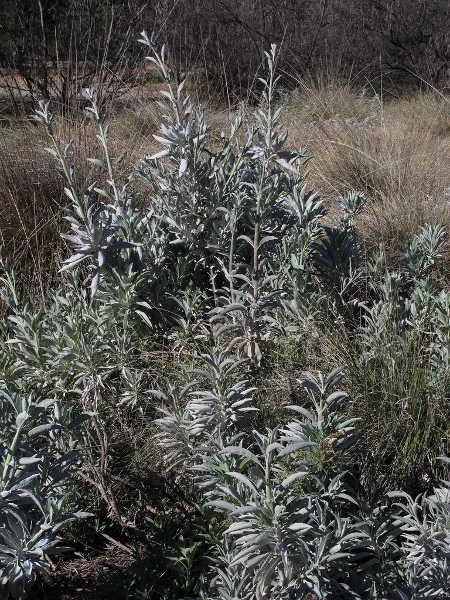 Wild white sage plant