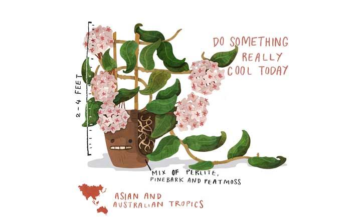 Hoya Plant Quick Care Illustration