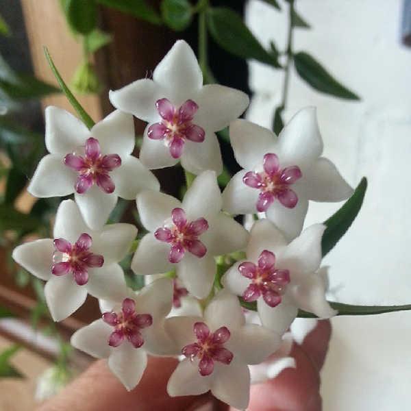 Hoya plant flowers
