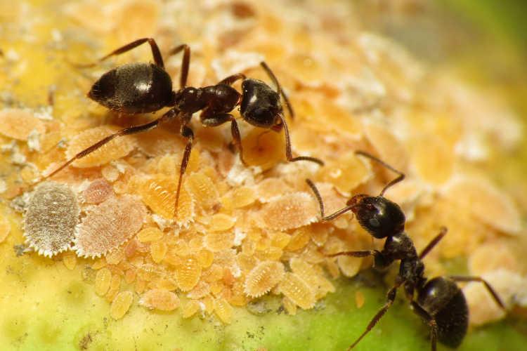 Ants tending citrus mealybugs
