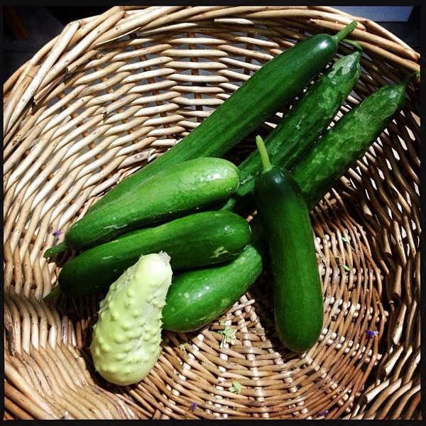 Pipinex Picolino and White Wonder cucumbers