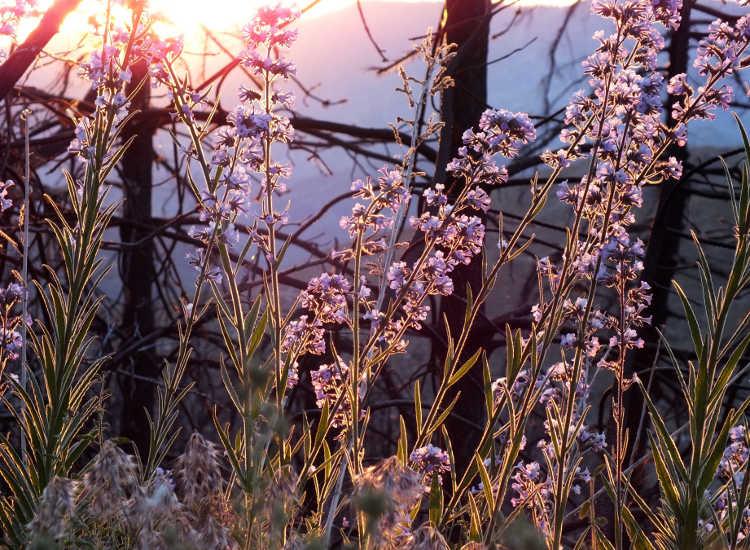 Poodle dog bush at sunset