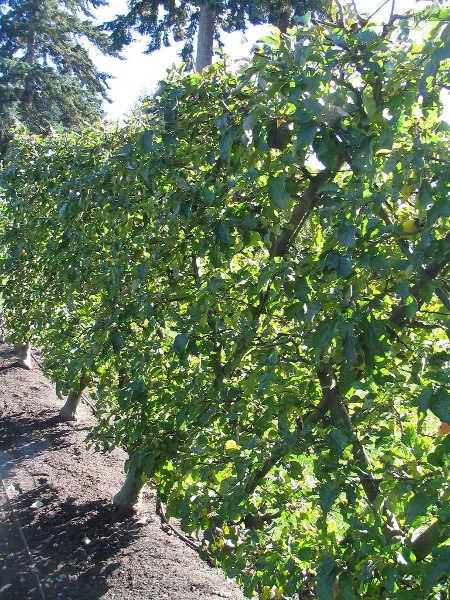 Belgian fence espaliered apple trees