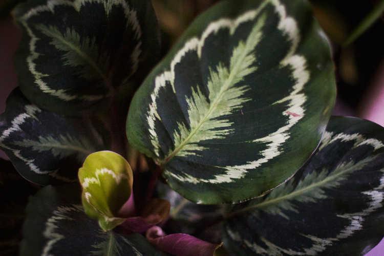 Calathea veitchiana closeup