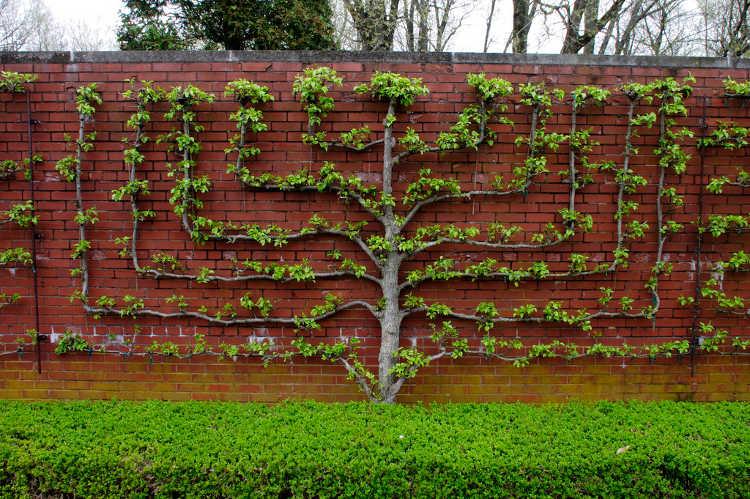 Candelabra pattern espaliered tree