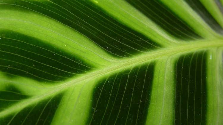 Closeup of calathea zebrina