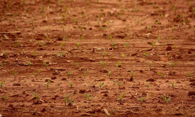 Corn growing in clay soil