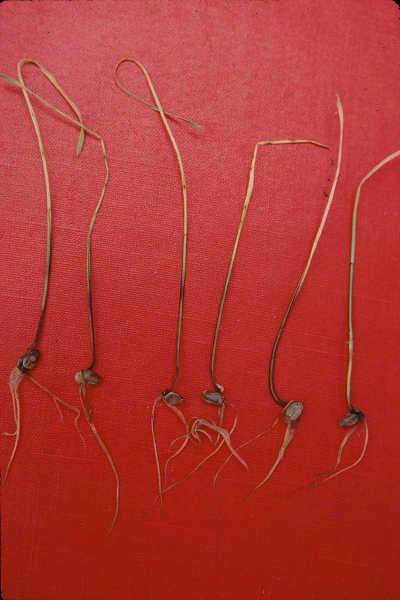 Damping off in wheat seedlings