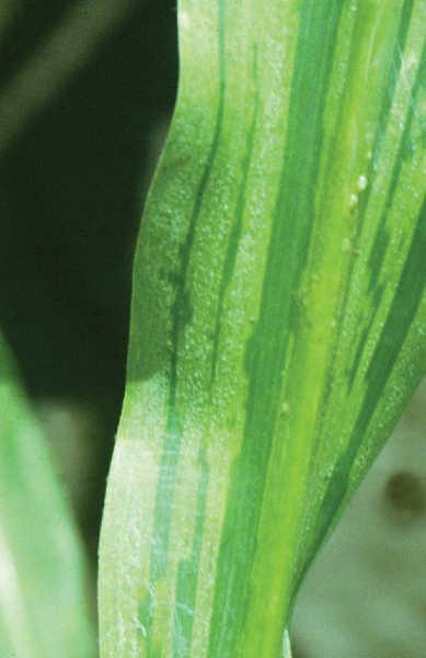 Downy mildew on maize