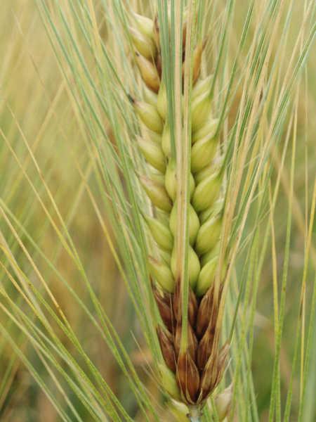 Fusarium head blight on barley