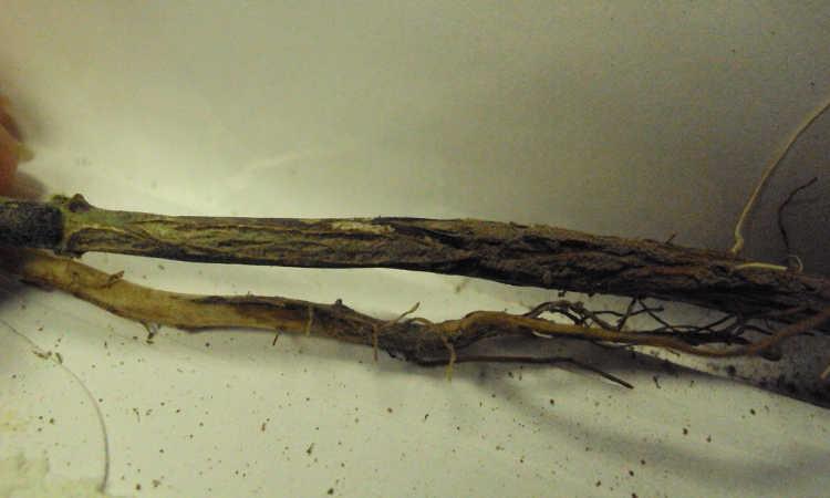 Fusarium root rot