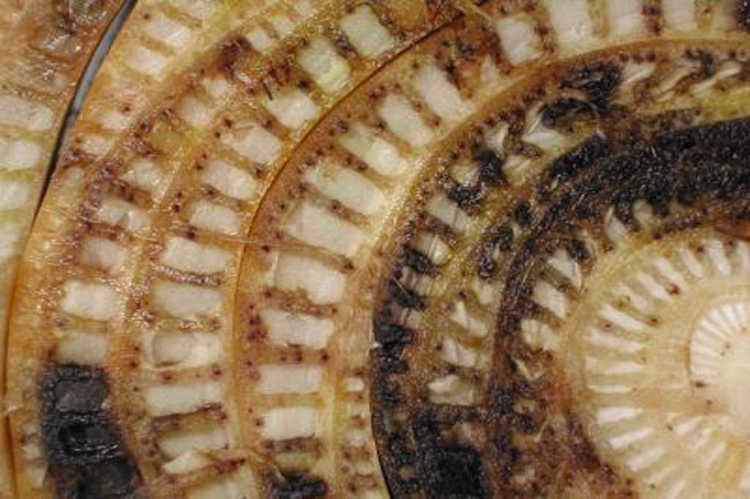 Fusarium stem infection in banana
