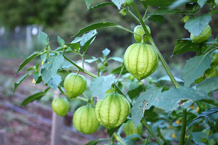 Green tomatillos on plant