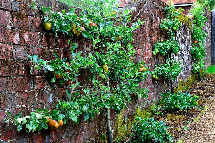 Horizontal espalier fruit trees