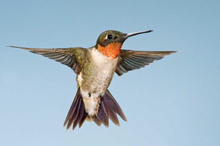 Hummingbird Coming In For Landing