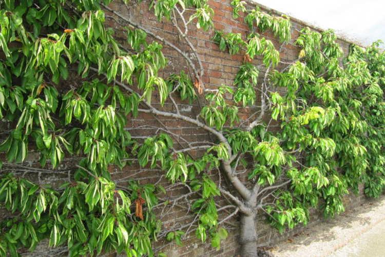 Informal espalier cherry trees