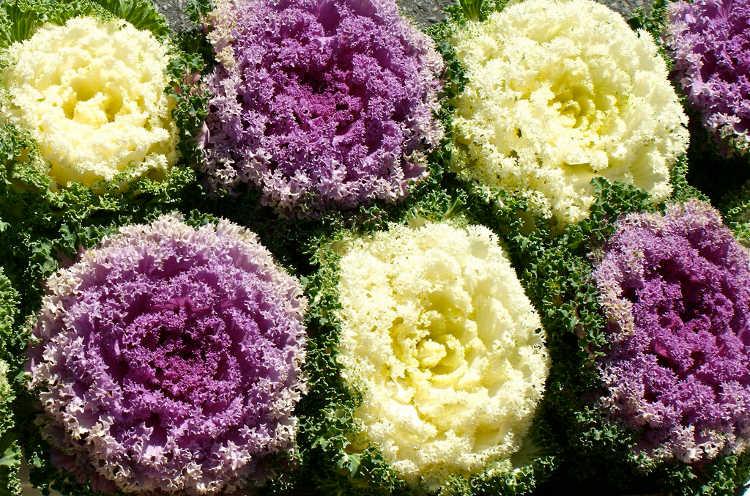 A mix of ornamental kales