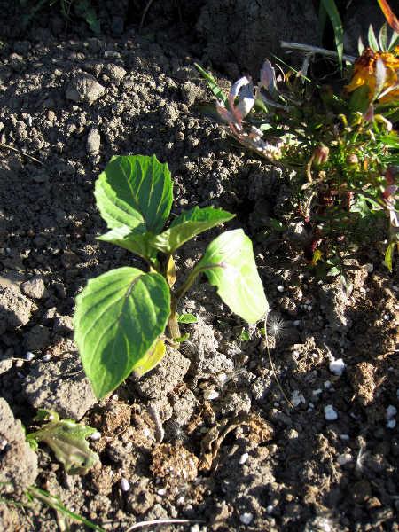 Tomatillo seedling