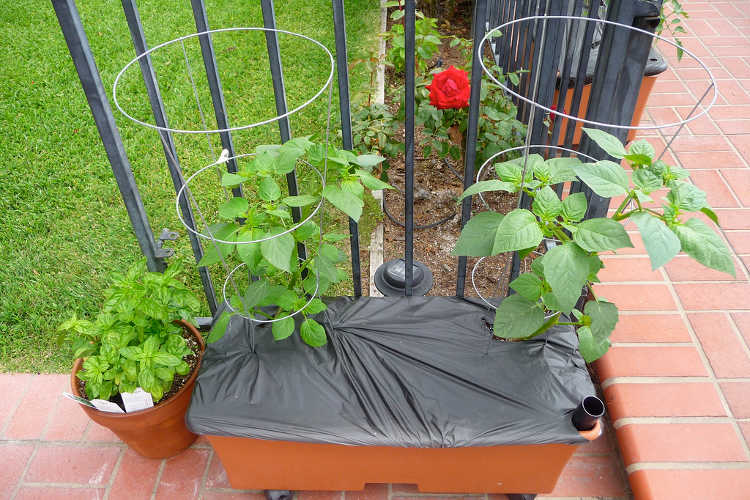 Tomatillos in container garden