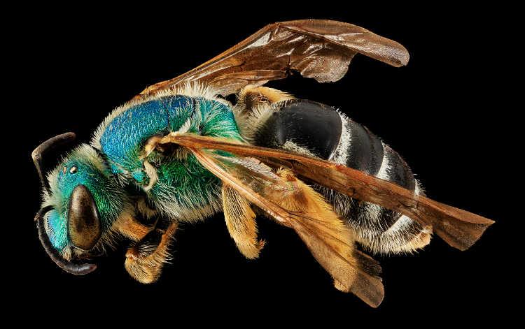 Agapostemon coloradinus