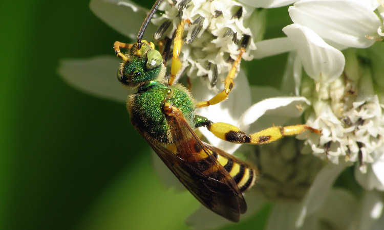 Agapostemon splendens male