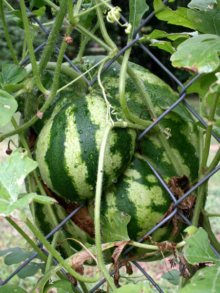 Watermelon growing on chain link fence