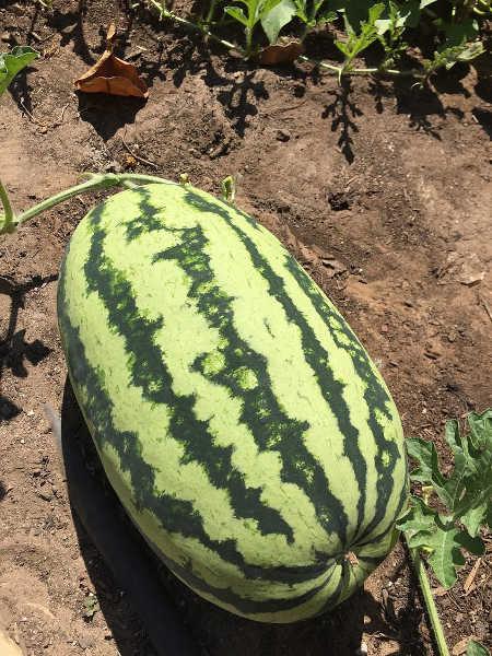 Orange Glo watermelon
