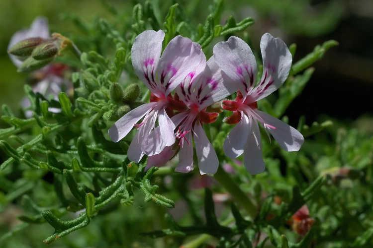 Pelargonium tomentosum aka peppermint scented geranium