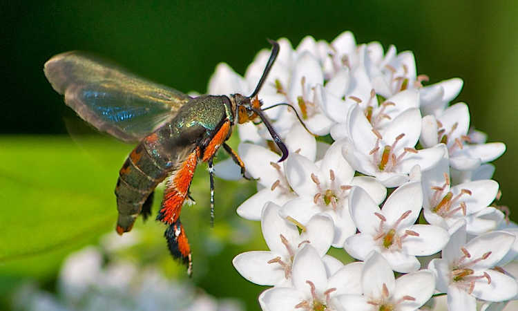 Squash vine borer moth with wings extended