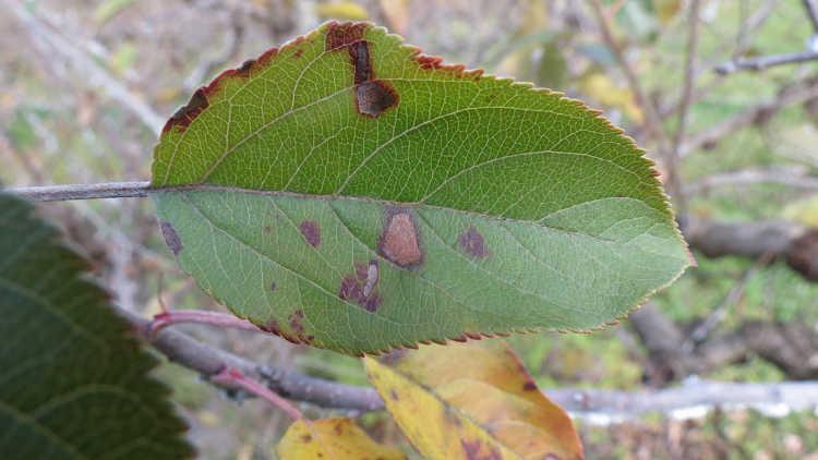 Alternaria leaf spot on apple leaf