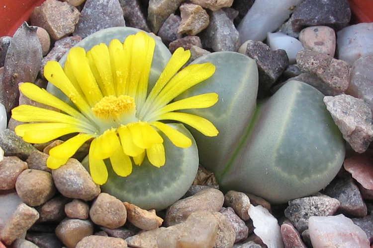 Lithops viridis