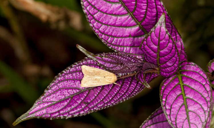 Noctuid moth on persian shield