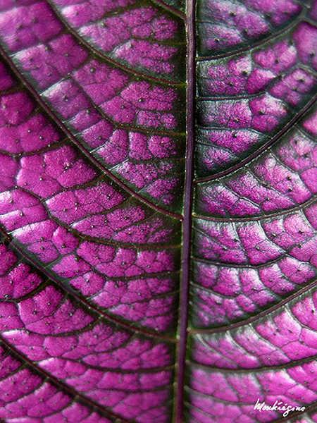 Persian shield closeup of leaf