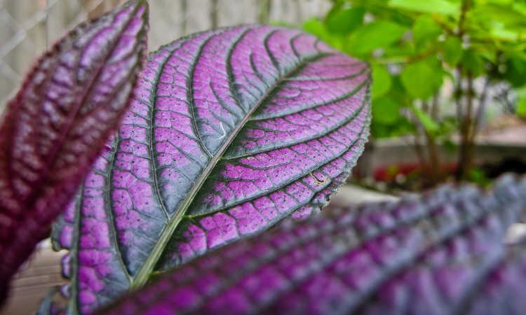 Persian shield leaves