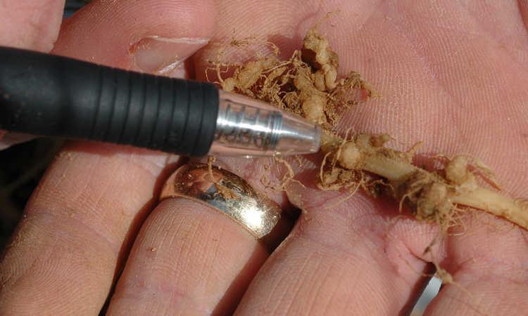 Root knot nematode galls on pumpkin roots