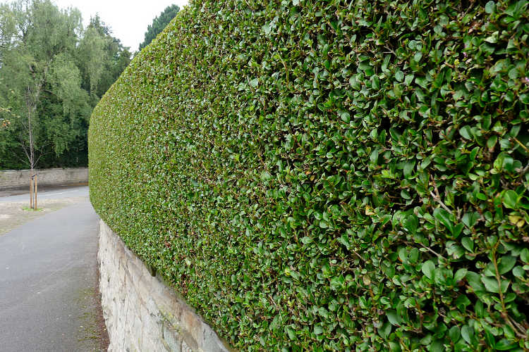 Well trimmed hedge