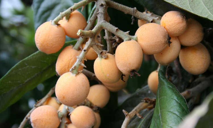 Cluster of ripe loquat fruit