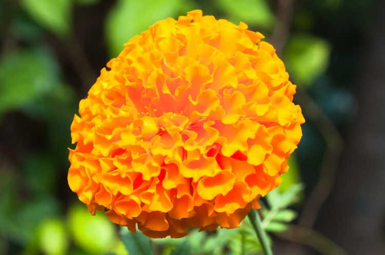 Flor de muerte