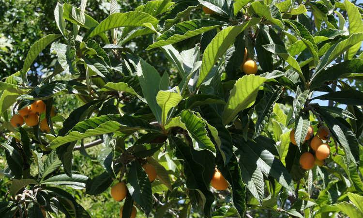 Ripe loquat fruit