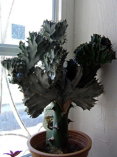 Coral cactus in partial shadow