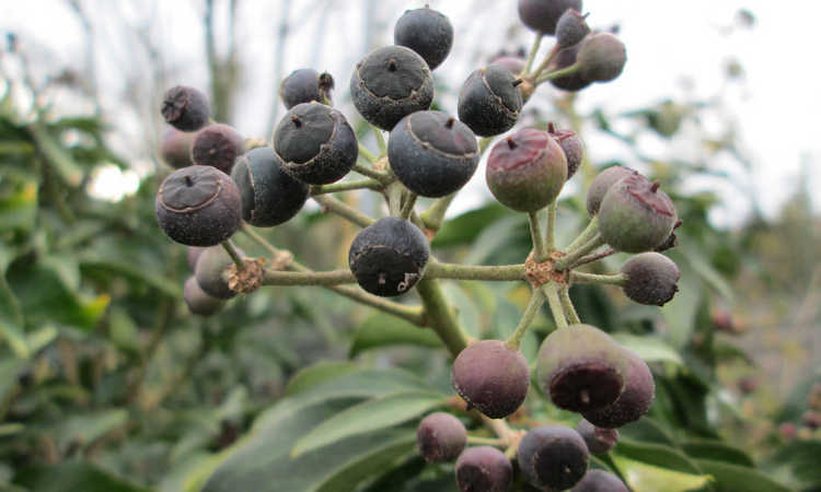 English ivy berries