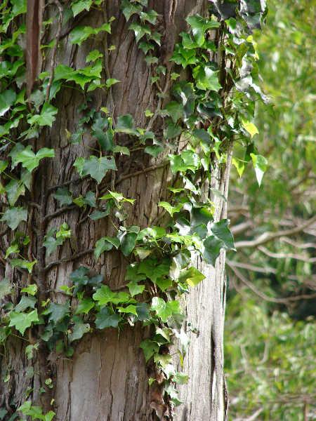 English ivy on tree