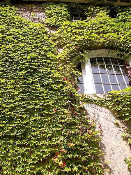 English ivy on wall
