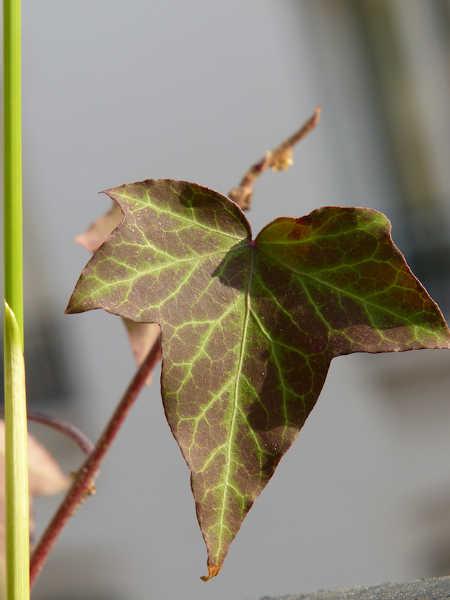 Variegated English ivy