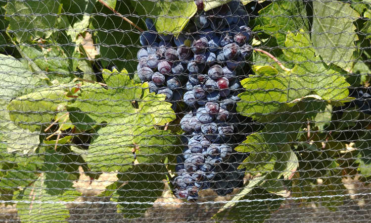 Fruit protected by bird netting at Cordi