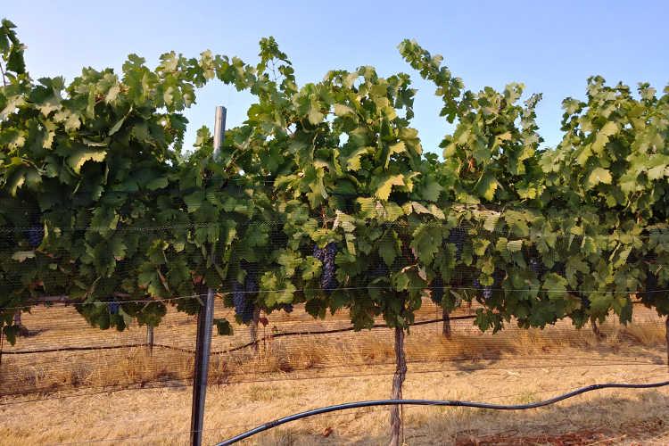 Grapes hiding beneath bird netting at Cordi