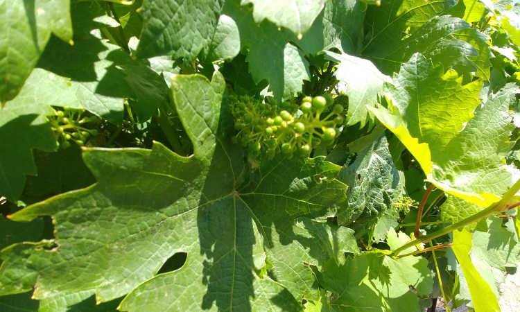 Late spring fruit set at Cordi