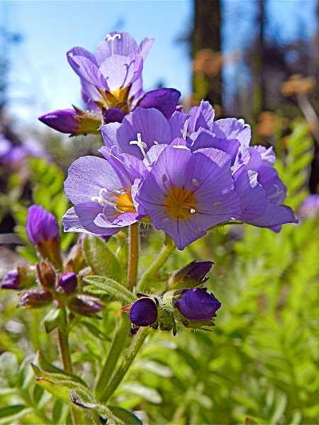 Purple Jacob's ladder flower cluster