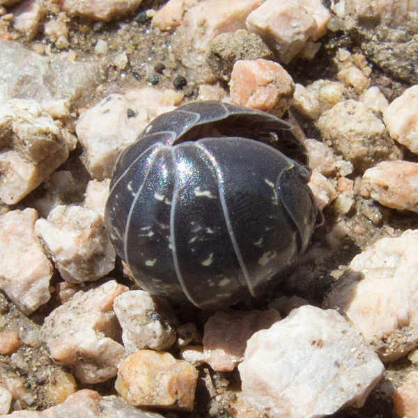 Mostly curled pill bug