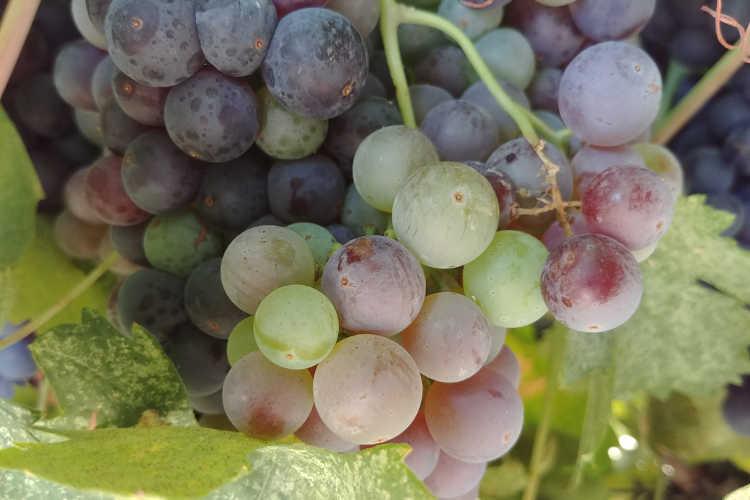 Primitivo grapes in veraizon at Cordi Winery